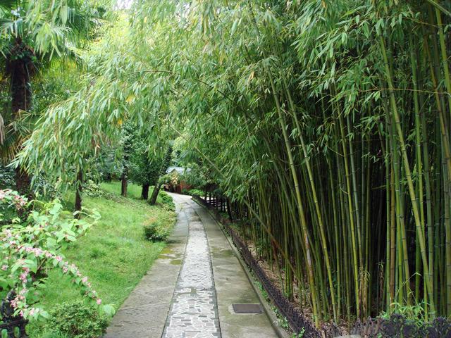 Фото: Бамбуковые деревья в сочинском дендрариуме