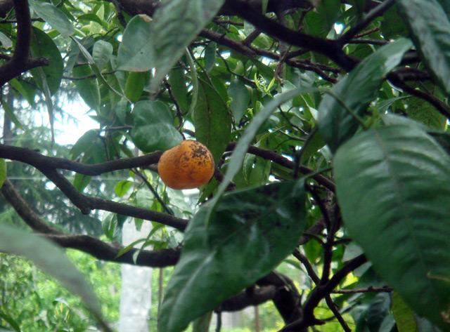 Фото: Мандарин на дереве