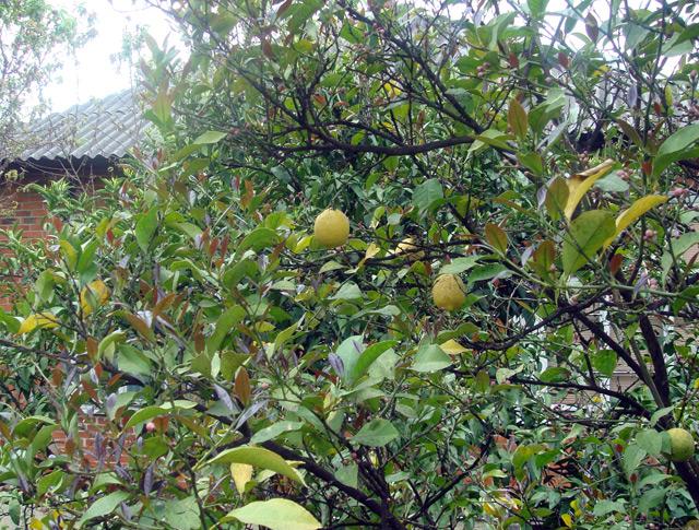 Фото: лимоны на дереве