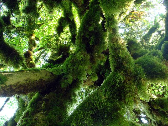Фото: одно из самых плотных деревьев