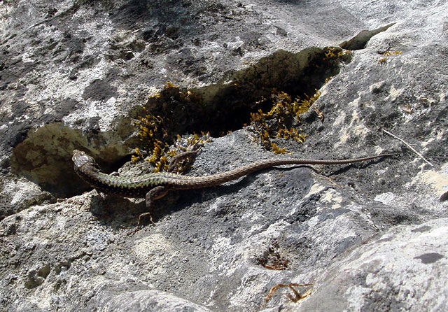 Фото: ящерица на скале
