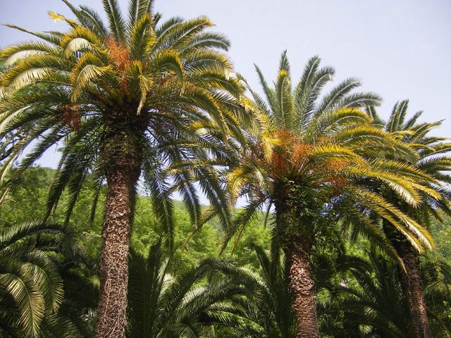 Фото: Гагра, пальмы