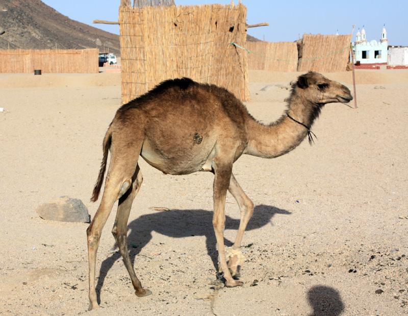 Верблюд в деревне бедуинов