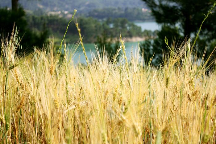 Фото: Пшеница
