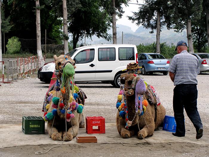 Верблюды в намордниках