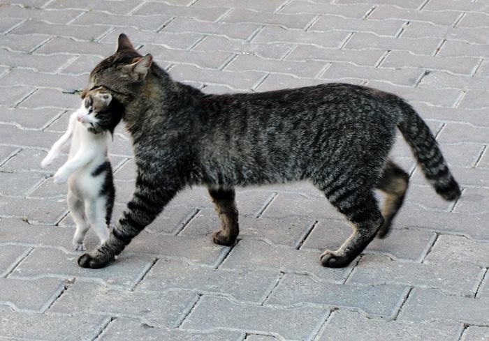Кошка несёт котёнка
