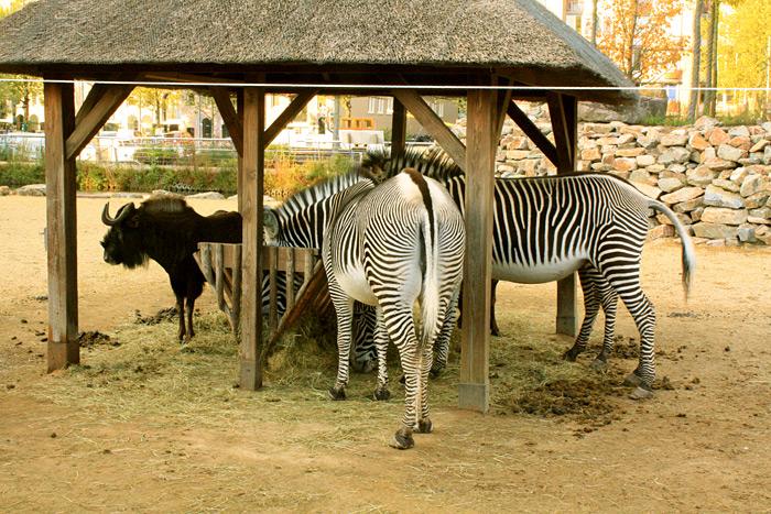 Зоопарк Амстердама. Зебры