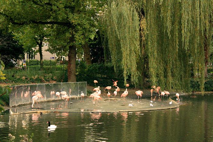 Зоопарк Амстердама. Розовые фламинго