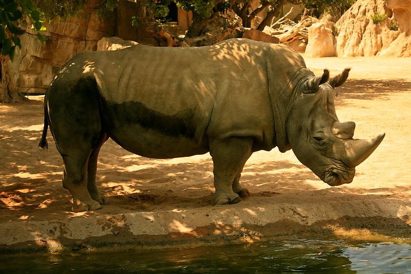 Фото: носорог в биопарке