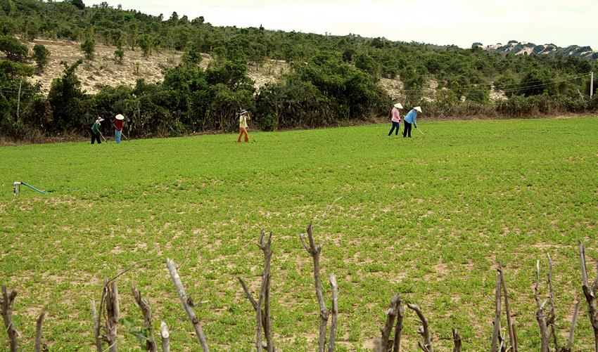 Вьетнамцы работают в поле